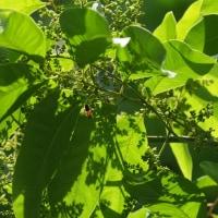 ムクロジの果実と蕾