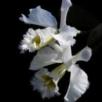 蘭 (花 4259)