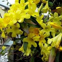 カロライナジャスミンという花