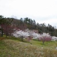 クラフトパークの桜