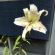 山百合の花。。。