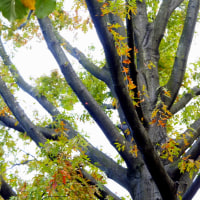ピンオークの紅葉  (アメリカガシワ)