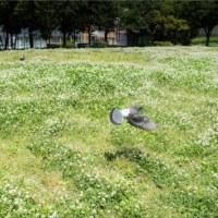 一面の白詰草