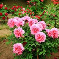 蛇ノ鼻遊楽園(福島県本宮市)藤の花 牡丹 ッツジが見頃です