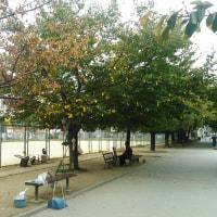 桜もみじはオレンジに染まる?