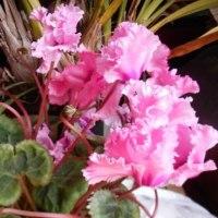 まだきれいに咲いています!