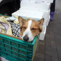 恵比寿の看板犬