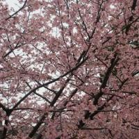 河津桜 美和地区