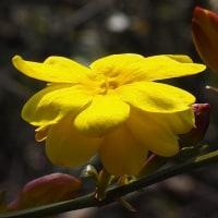 鮮やかなイエローの雲南黄梅(ウンナンオウバイ)が咲き始めました