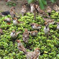 都内庭園めぐり おまけ…雀at上野公園