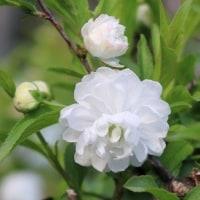 あまり知られていない花かも「にわ桜」開花を迎えています。