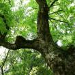 巨 樹(2006/5/30)