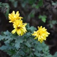 凍っていた黄色い小菊