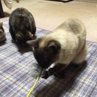 猫の利き手