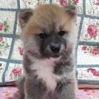 秋田犬の仔犬の赤毛の男の子のご紹介ですm(_ _)m✨