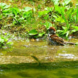 スズメの水浴び (神宮東公園)