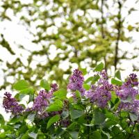 薄紫色のライラック