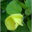 夏の花・ 水フヨウとハマボウの花 長居公園【大阪市】。      17・7月21日