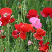 あけぼの山公園のポピー 花の絨毯