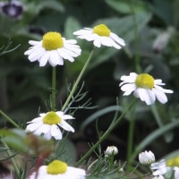 こぼれ種からの可愛いお花達 (ボケ画像ですが)