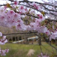 川沿いの公園にカタクリ咲く・猫は梅の香りを楽しむ