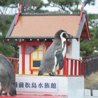 ペンギン散歩今昔・越前松島フンボルト2