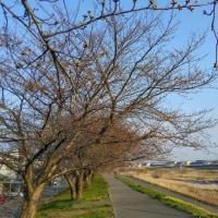 2017 私的桜開花標準木 30