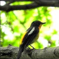 今日の野鳥キビタキ。