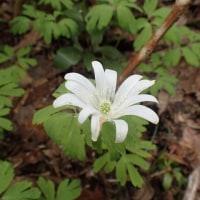 佐渡の花:石花登山口から平城畑の花:アズマイチゲの花はポツリポツリです。