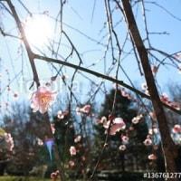 しだれ梅の開花も始まっています