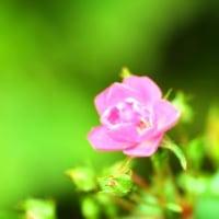 Gifu / Rose Festival ( 4 )