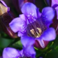 [#3467] リンドウ(4)1個の花の全体像