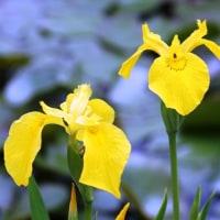 清々しい黄しょうぶ‥③ 【ひで某】