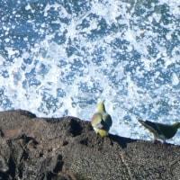『アオバト』 波のカーテン