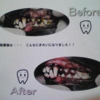 犬の歯石取り