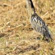 今日の野鳥    アオバズク ・ サンカノゴイ