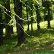 樹木ウォッチング冬から夏へ228ツルウメモドキ1