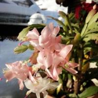 カニサボテンに花が咲いた!