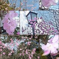 桜を求めて北上したら…。