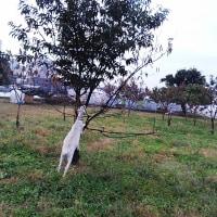 武蔵境 山中南公園前の山羊さん パート6