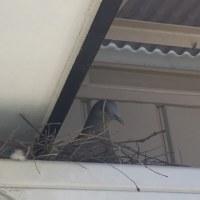 鳩の巣作り