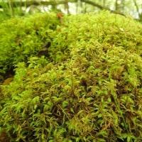 天照教付近の植物:フトリュウビゴケの群生