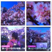 静岡県熱海市の熱海ザクラが満開です。綺麗です。