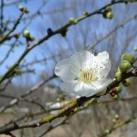 白梅が咲き始めた