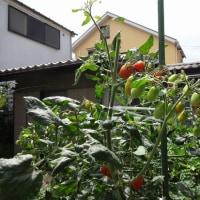 7月末のミニトマト