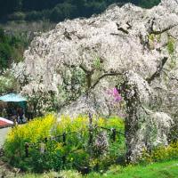 寄しだれ桜まつり