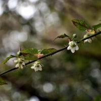 咲きはじめたクサイチゴの花