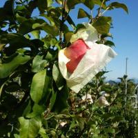 林檎の葉摘みと袋剥ぎ