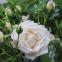 盛りを過ぎた薔薇 と サカるワンコ