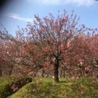 桜のまわりみち 広島造幣局